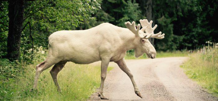 Rarissimo esemplare di Alce Bianco filmato in Svezia